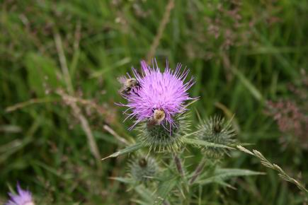 Resize_of_distel_met_bijen_2_180720