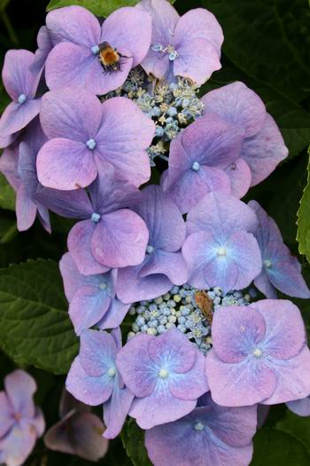 Resize_of_hortensia_met_insect_2_19