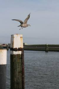 Resize of Texel Oudeschild meeuw 09 15022011