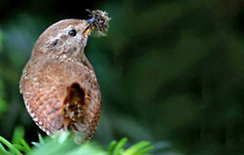 Nestelend winterkoninkje (pardon, winterkoning....) Afbeelding afkomstig uit de Nieuwsbrief van Vogelbescherming