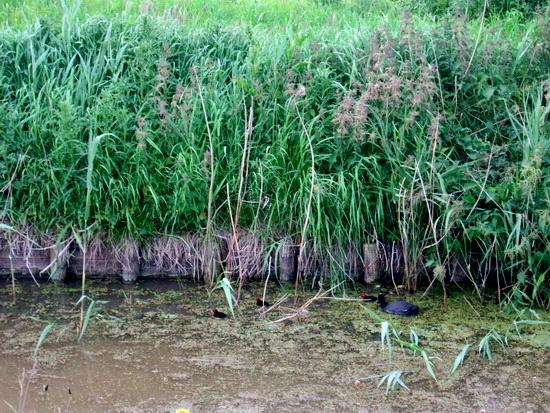 Jonge meerkoeten in de sloot langs de Mokkenburgweg, richting boerderij De Jong. In de dagen daarna niet weer gezien. Elders een veilig heenkomen gezocht?