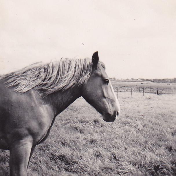LJL Doodgewone paardenkop 1949